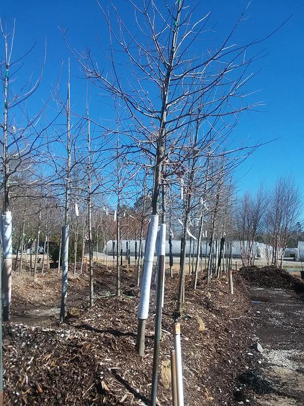 Nuttall Oak Trees Crawford S Nursery